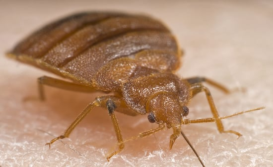Bed bug removal Ottawa